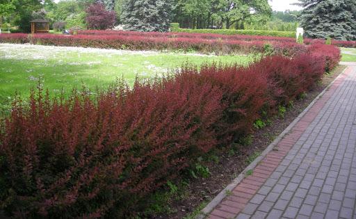 Купить кусты на живую изгородь