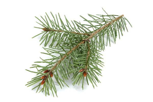 pine-needles-branch.jpg