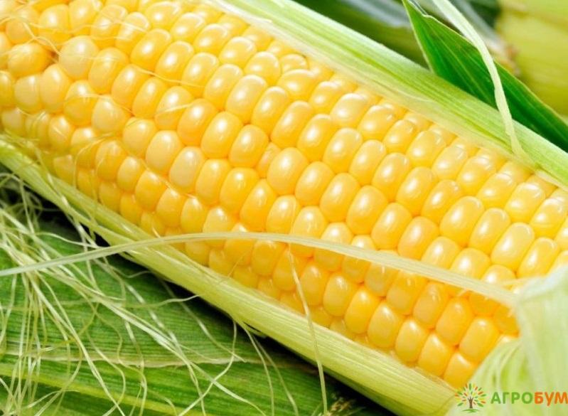 Купить семена Кукуруза Государь F1 5 г по низкой цене, доставка почтой наложенным платежом по России, курьером по Москве - интернет-магазин АгроБум