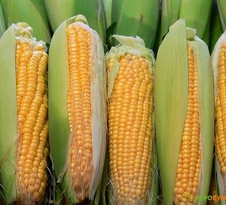 Купить семена Кукуруза Краснодарский сахарный 250 СВ F1 5 г по низкой цене, доставка почтой наложенным платежом по России, курьером по Москве - интернет-магазин АгроБум