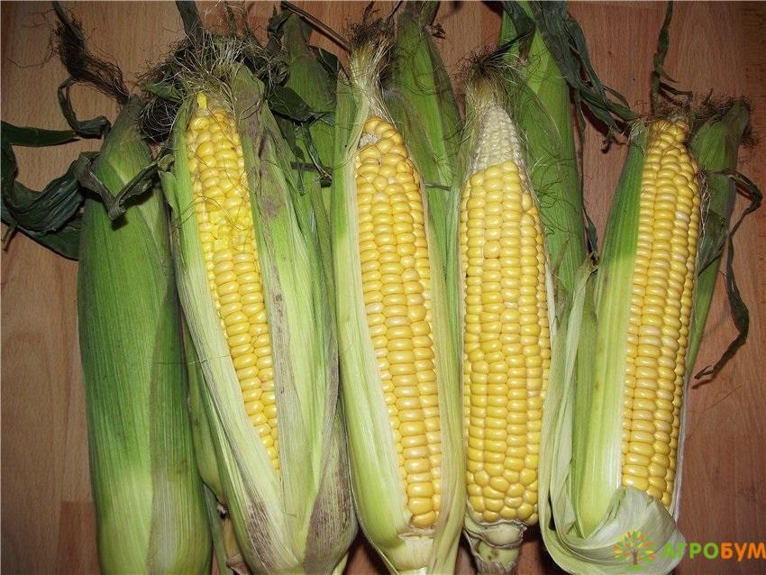 Купить семена Кукуруза Сахарный початок 5 г по низкой цене, доставка почтой наложенным платежом по России, курьером по Москве - интернет-магазин АгроБум