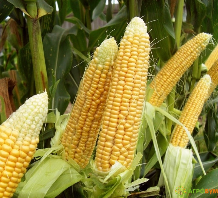 Купить семена Кукуруза Симпатия 5 г по низкой цене, доставка почтой наложенным платежом по России, курьером по Москве - интернет-магазин АгроБум
