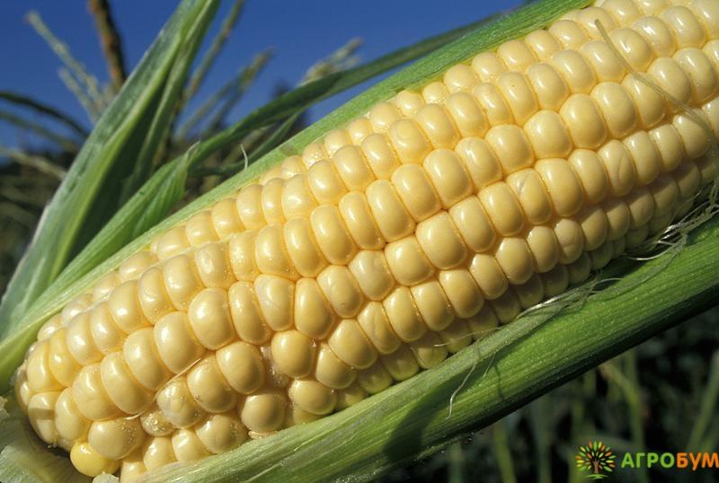 Купить семена Кукуруза Соблазн сахарная 5 г по низкой цене, доставка почтой наложенным платежом по России, курьером по Москве - интернет-магазин АгроБум