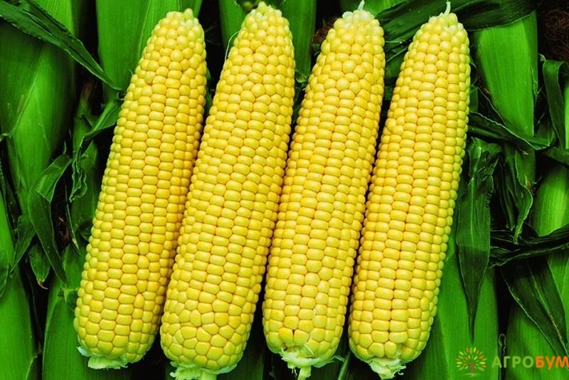 Купить семена Кукуруза Фаворит сахарная 5 г по низкой цене, доставка почтой наложенным платежом по России, курьером по Москве - интернет-магазин АгроБум
