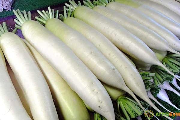 Купить семена Дайкон Рыцарь 1 г по низкой цене, доставка почтой наложенным платежом по России, курьером по Москве - интернет-магазин АгроБум