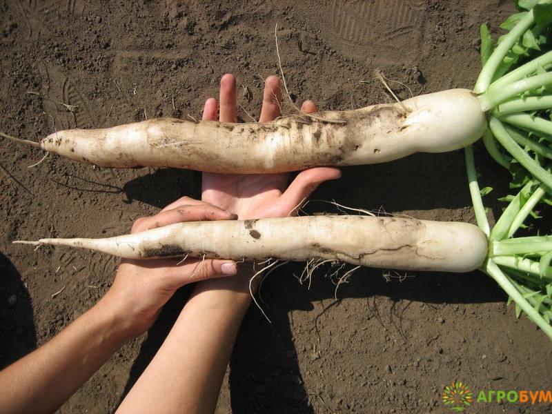 Купить семена Дайкон Миноваси 1,0 г по низкой цене, доставка почтой наложенным платежом по России, курьером по Москве - интернет-магазин АгроБум