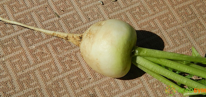 Купить семена Дайкон Саша 1 г по низкой цене, доставка почтой наложенным платежом по России, курьером по Москве - интернет-магазин АгроБум