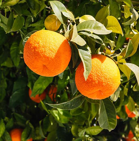Верхние ноты: Горький апельсин/Имбирь/Кардамон