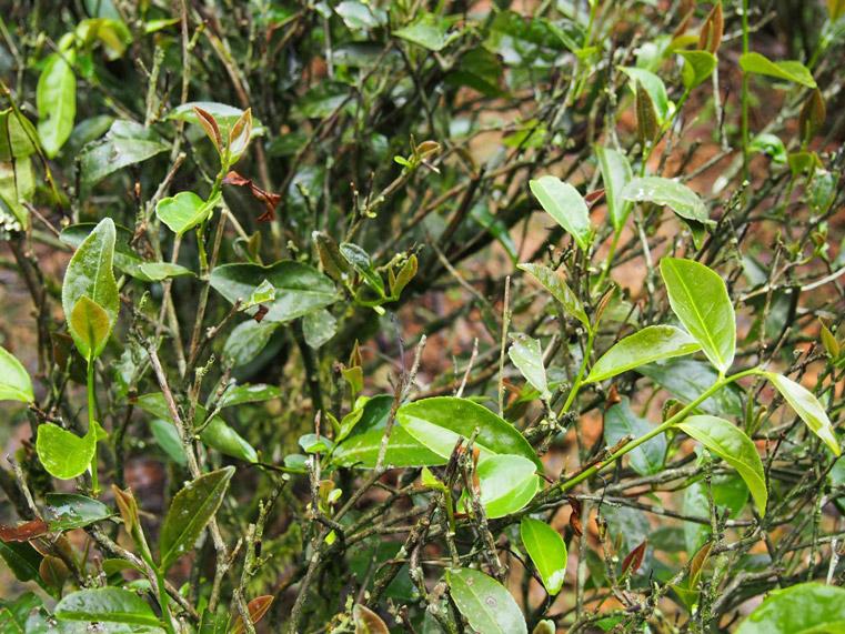 zhou-guy-leaf.jpg