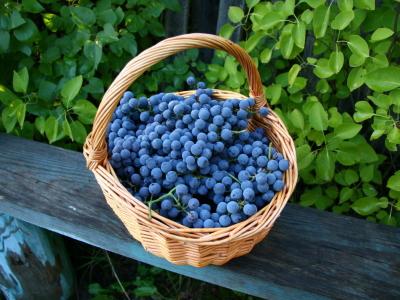 Поиск винограда
