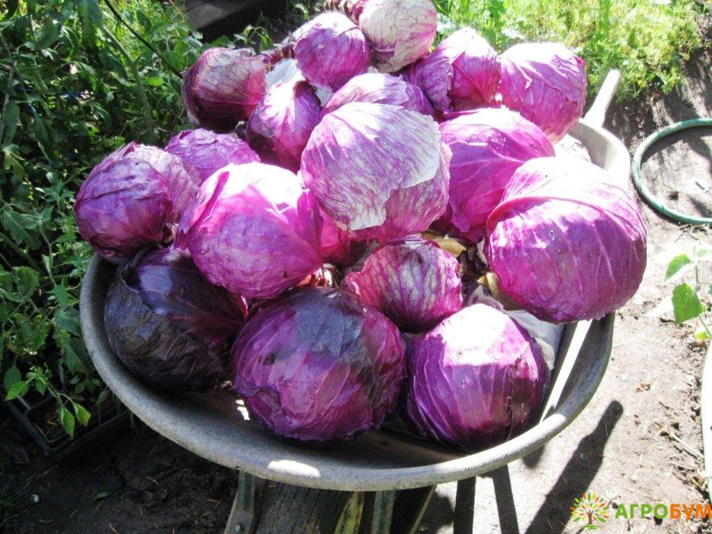 Купить семена Капуста краснокоч. Рубин 0,3 г по низкой цене, доставка почтой наложенным платежом по России, курьером по Москве - интернет-магазин АгроБум