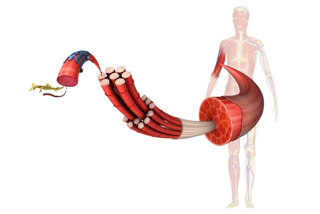 У фасції знаходиться в 10 раз більше нервових закінчень, ніж в м'язах