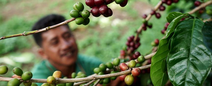 Кофе с острова Индонезия Суматра