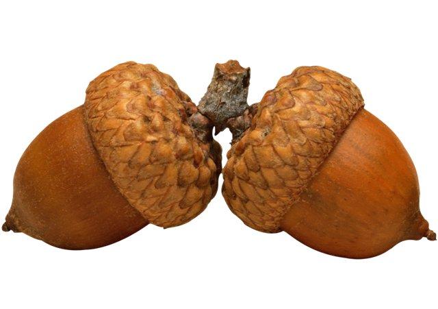 желуди история состав употребление желудей