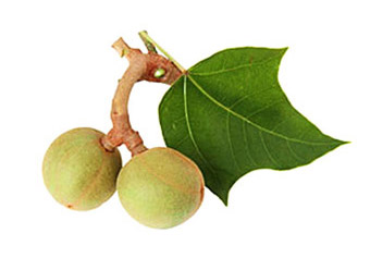 кукуй орех свечного дерева