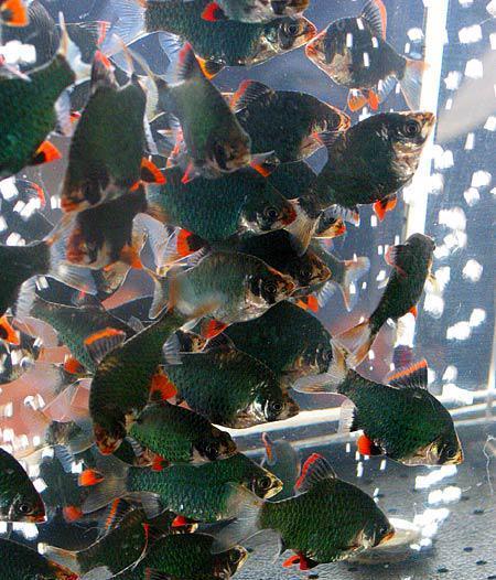 Размножение и разведение барбусов