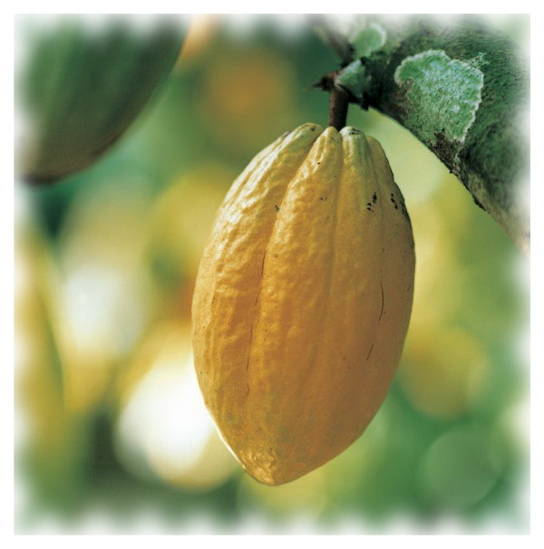 Внешний вид какао Forastero