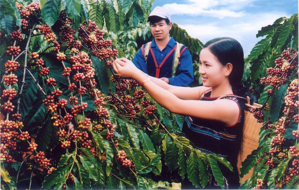 Особенности произрастания кофе во Вьетнаме