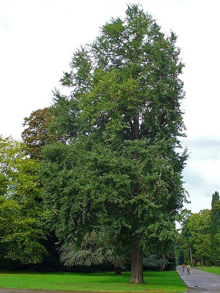 Взрослое дерево Гинкго билоба