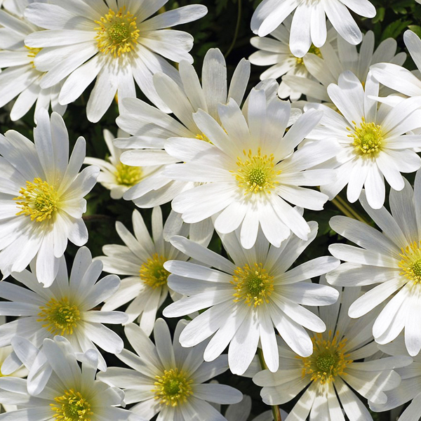 "Анемона бланда Уайт Сплендор ""White Splendour"""
