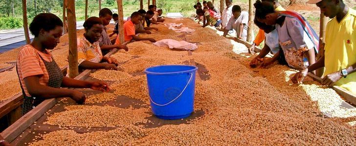 Производство кофе в Уганде