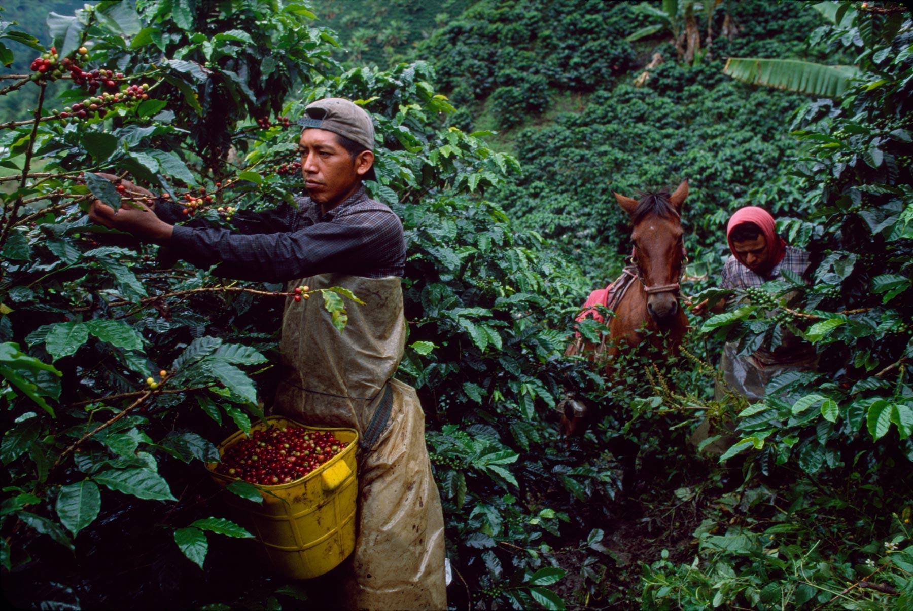 Сбор урожая кофе в колумбии