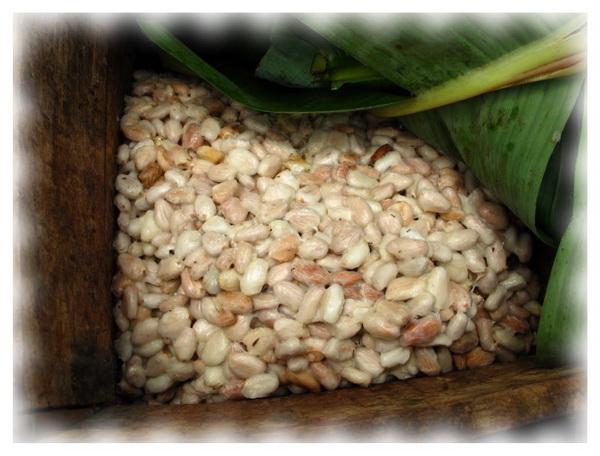 Ферментация какао бобов в ящиках