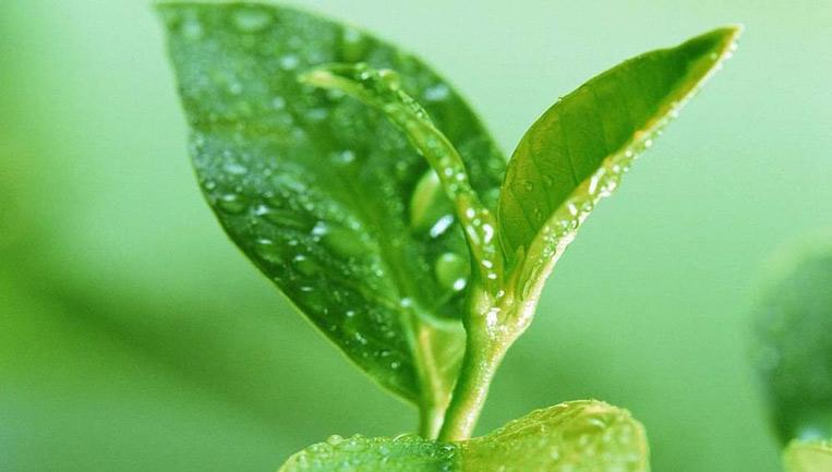 лист зеленого чая