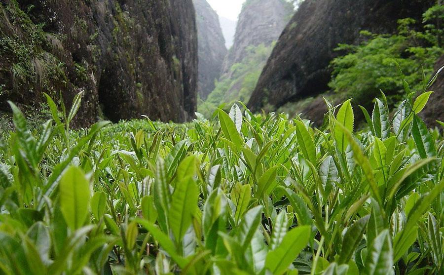 dahunpao-leaf.jpg