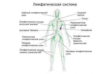 Лимфатическая система организма