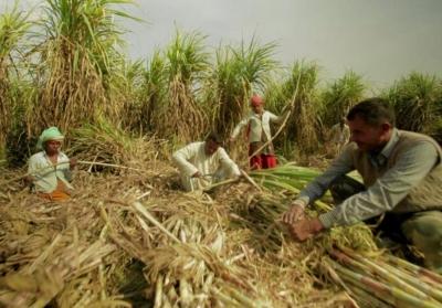 патока сахарного тростника