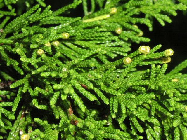 Juniperus-virginiana-4