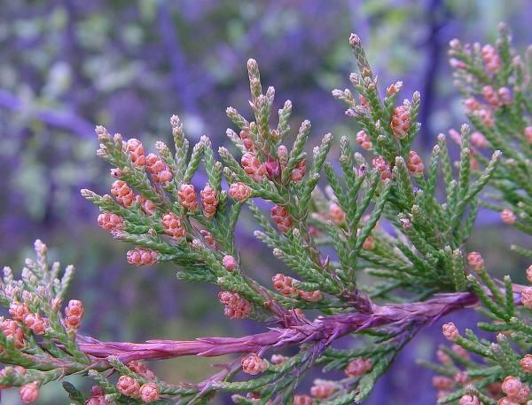 juniperus-virginiana-2
