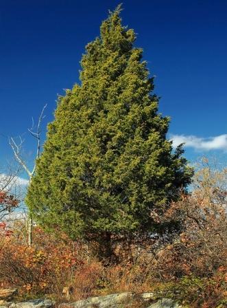 Juniperus-virginiana-5