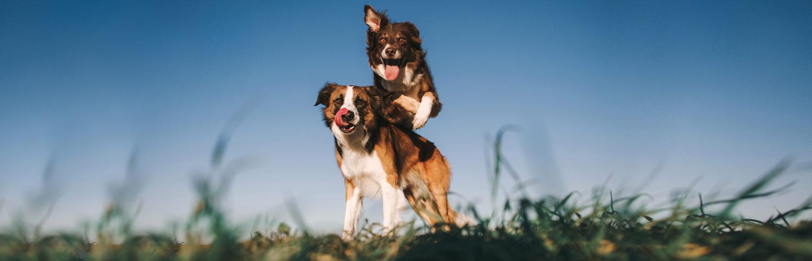 Корм для дорослих собак