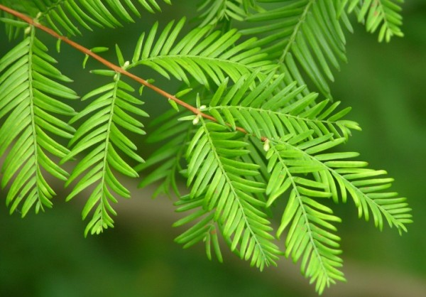 Metasequoia-glyptostroboides-1