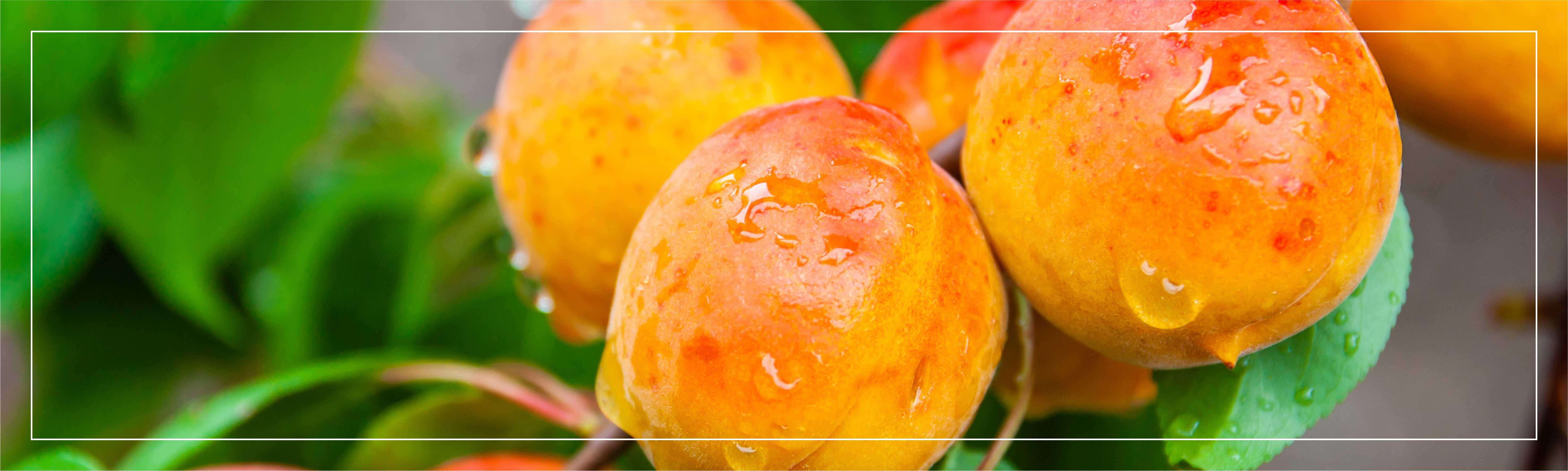 Свежие абрикосы на дереве