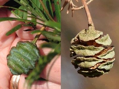 Metasequoia-glyptostroboides-5