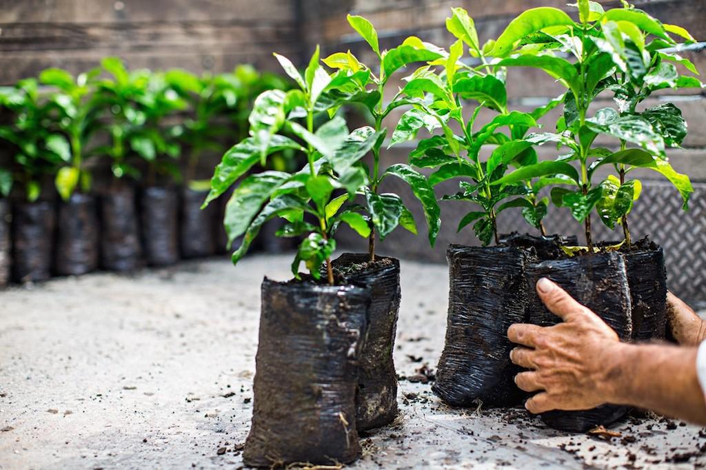 Пересадка кофейного дерева на плантацию