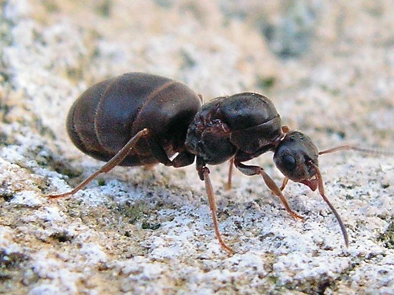 lasius niger с нуля