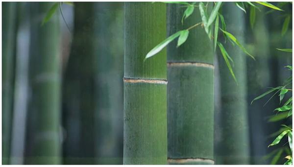 bamboo_1.jpg