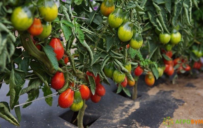 Купить семена Томат Груша красная 0,1 г по низкой цене, доставка почтой наложенным платежом по России, курьером по Москве - интернет-магазин АгроБум
