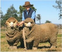 Шерсть мериносовой овцы
