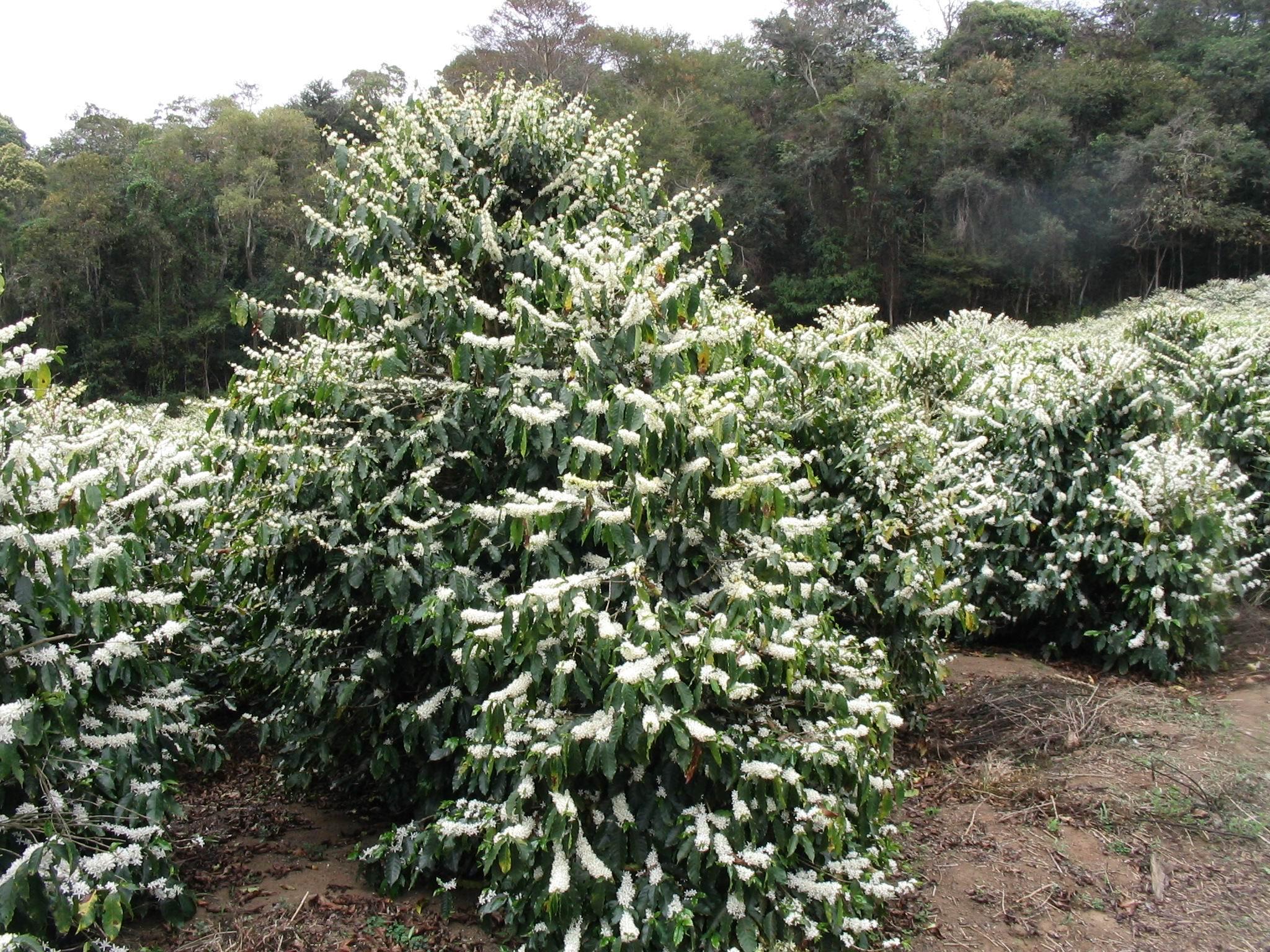 Дерево арабики