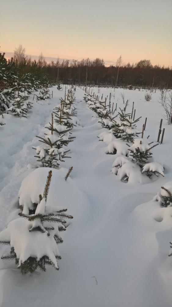 Голубые ели зима