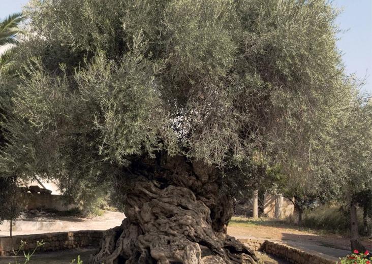 Оливковое дерево на Крите, которому более 2000 лет
