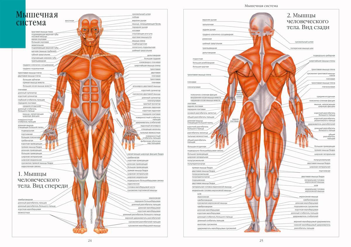 Общий мышечный атлас