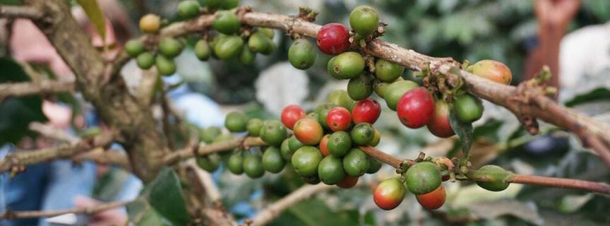 Кофе в зернах из Эфиопии