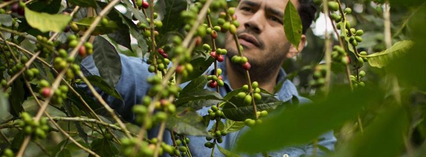 Кофе арабика из Мексики