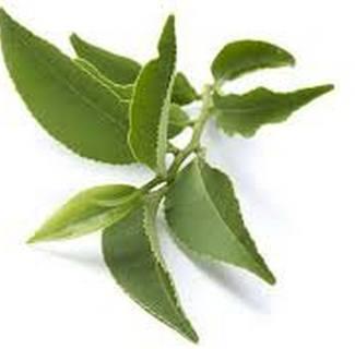 Гидролат Зеленого чая (Camelia sinensis water)